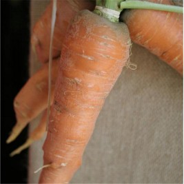 Carrot Rothild Organic seeds of madness