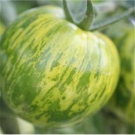 Graines bio tomate green zebra